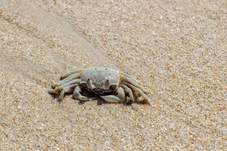 Sand crab on a beach, Vietnam