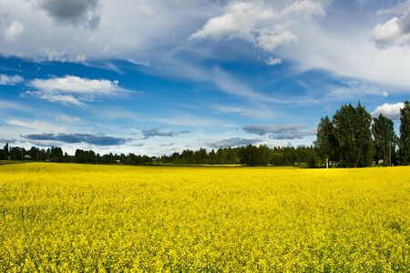 Golden field of flowering rapeseed with beautiful clouds on sky and on forest background
