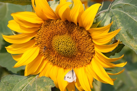 A close up of a sunflower with a honeybee and a moth  Stock Photo - 12714018