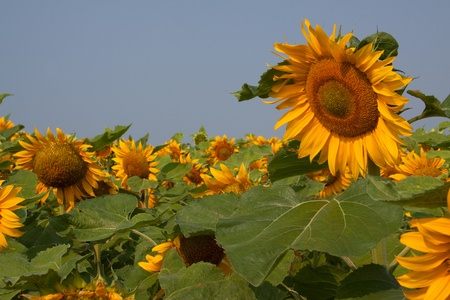 Un tournesol de haut dans un champ de tournesols photo