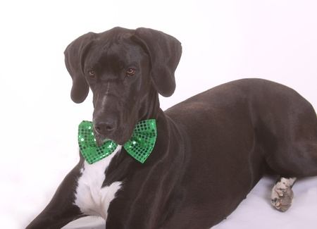 Black Great Dane puppy with a green bow tie for St  Patricks Day  photo