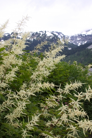 japonica: Astilbe Japonica