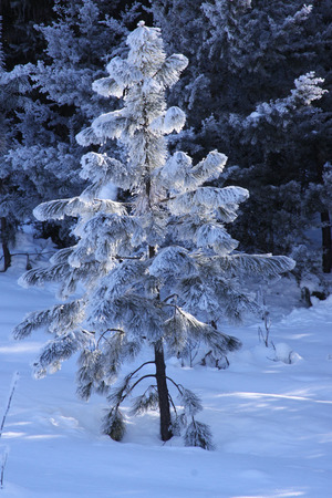 hoar frost: Snow and Hoar Frost on a tree