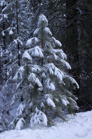 hoar frost: Snow and hoar frost on a tree  Stock Photo