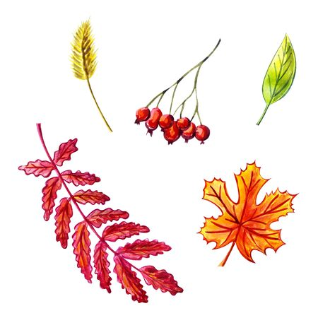 Autumn leaves set: rowan leaf, rowan berries, maple leaf, grass spike, green leaf. Watercolor illustration. Isolated objects on white background. Image for autumn decoration. Zdjęcie Seryjne
