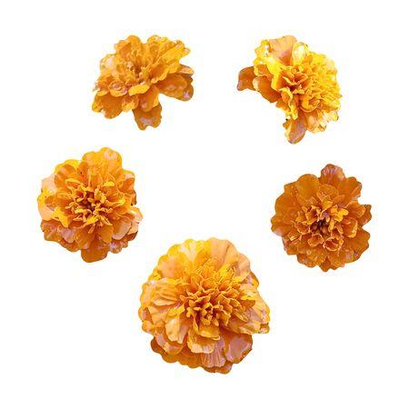 Nagietek pomarańczowe kwiaty na białym tle. Obraz do wystroju i projektu. Dzień śmierci. Meksyk.