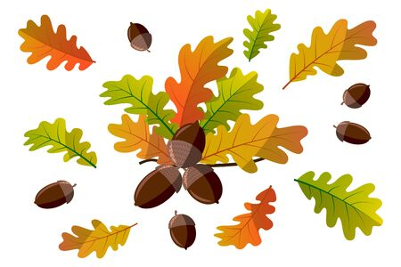 Acorns with yellowed leaves on a branch. Oak. Branch. Isolated acorns on a white background. Image for your design. Set. Autumn vector illustration.