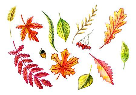 Autumn leaves set: maple, birch, willow, oak, acorn, birch leaves, blade of grass, rowan leaf, rowan berries, grass spike. Watercolor illustrations Isolated objects Autumn decoration