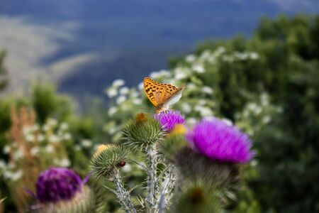 Beautiful thorny honey plant and butterflies collect nectar
