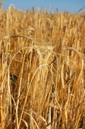 Picture of golden wheats in the country field Stock Photo