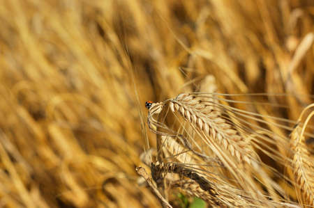 Picture of lady-bird and golden wheats in the country field Stock Photo - 3228743