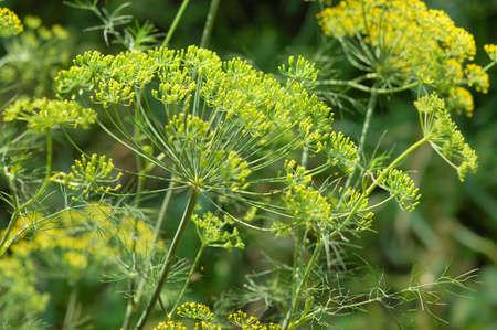 picture of green dill, Anethum graveolens