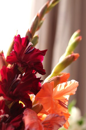 bouquet of gladioluses red and peach delicate background 版權商用圖片