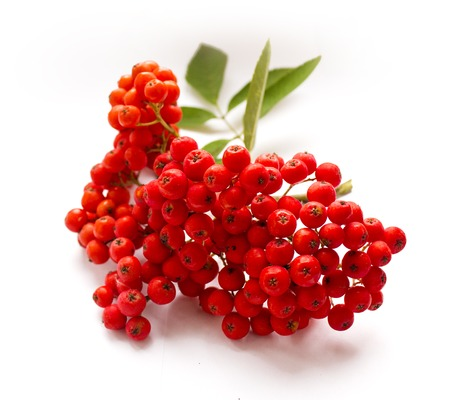 Ripe red rowan isolated on white background. Autumn berries