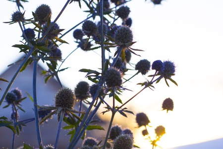 flower of Eryngium on sunset in november. First frost Stok Fotoğraf
