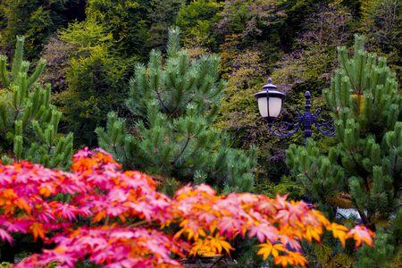 Beautiful Japanese red maple in the fall. Sochi. Krasnaya Polyana.