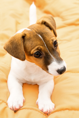 Preview Save to a lightbox Find Similar Images Share Stock Photo: Puppy Jack Russell Terrier lying on the bed