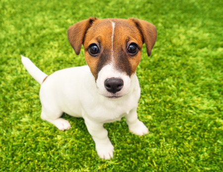 pedigreed: Puppy Jack Russell Terrier playing in the bright carpet close-up Stock Photo