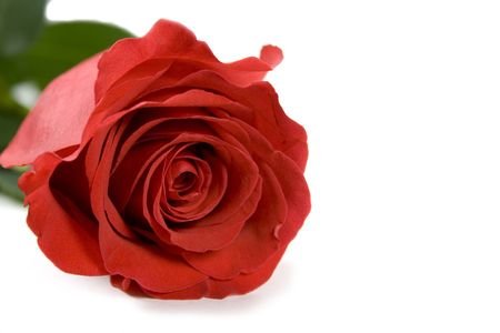 red rose over white background photo