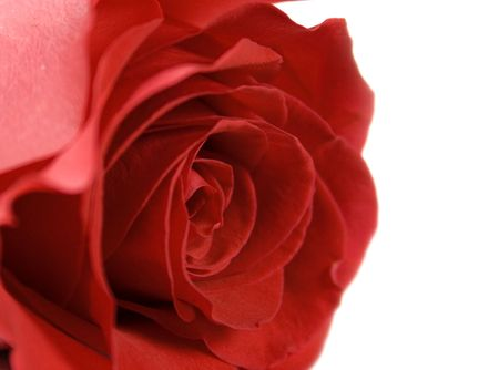red rose Stock Photo - 2426232