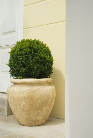 Plant in big ceramic pot on a background of wall photo