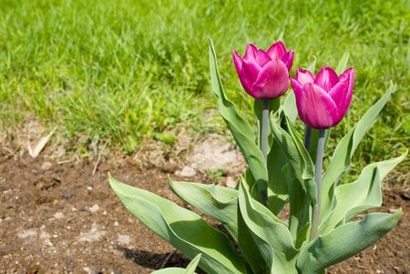two purpur tulips in the park photo