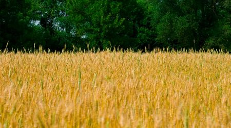 Field of wheat on a background of the forest Stock Photo - 3315642