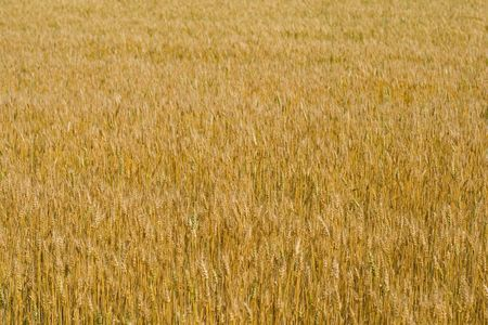 field of wheat background Stock Photo - 3315650