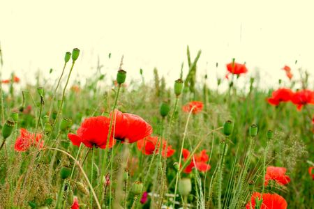 field of blossoming red poppies photo