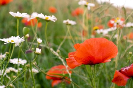chamomile and poppies field close up photo