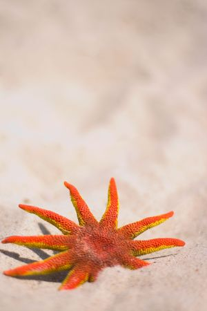 red starfish on the sand photo
