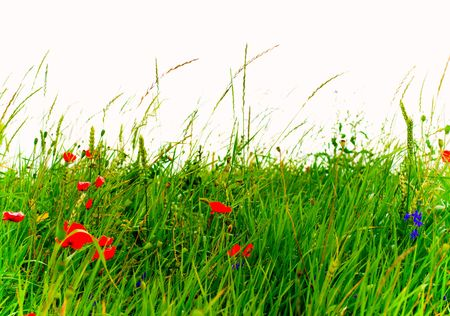 field of blossoming red poppies in grass Stock Photo - 3976189