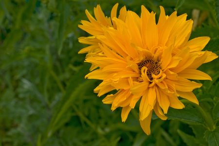 yellow flower over green grass background photo