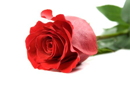 red rose on white backround Stock Photo - 4407710