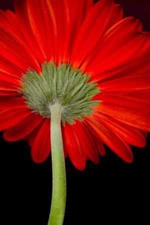 red gerbera flower closeup on black background photo