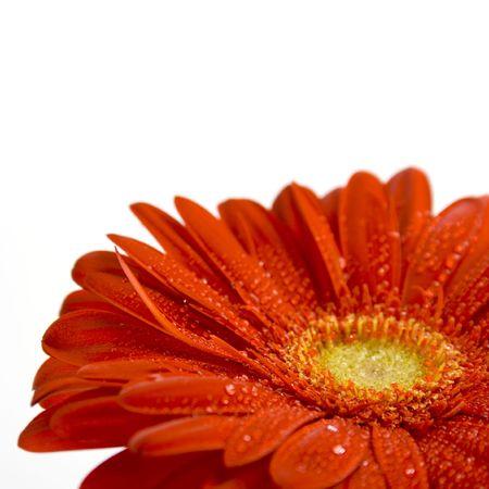 rode gerbera bloem closeup op witte achtergrond
