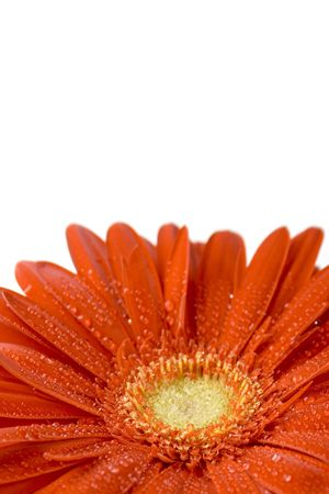 red gerbera flower closeup on white background photo