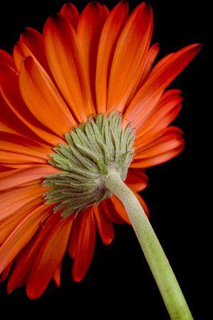 red gerbera flower closeup on black background Stock Photo - 4456518