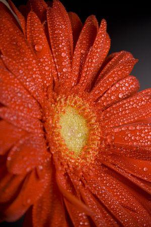 red gerbera flower with water drops closeup photo