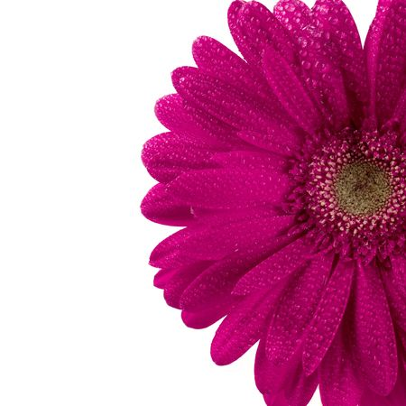 pink gerbera flower closeup on white background Stock Photo - 4502916