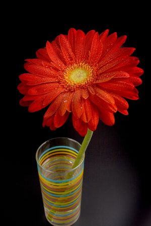 red gerbera flower closeup on black background photo