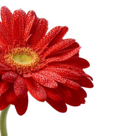 Rode gerbera bloemen close-up op witte achtergrond  Stockfoto - 4520931