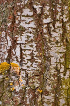 birch bark close up background photo