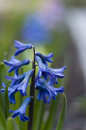 blue hyacinth flowers in a garden photo