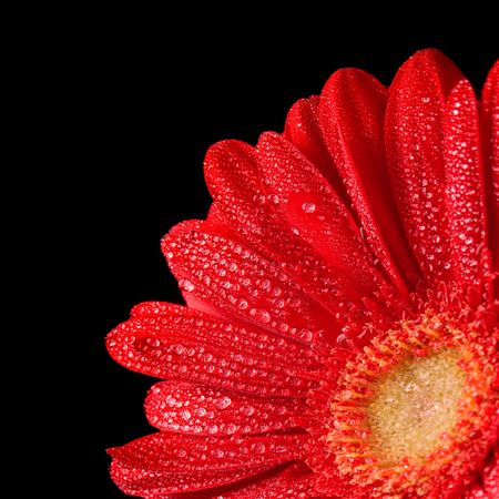 gerbera flower with water drops closeup on black background photo