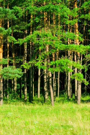 green pine forest background photo