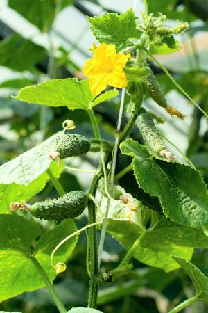 young cucumber plant in greenhouse   photo