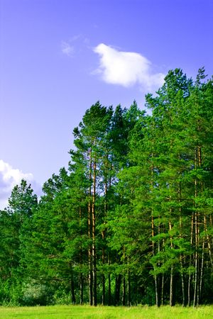 greenwood: green pine forest and blue sky