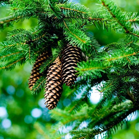 pinecones hanging from the branches of an evergreen tree   photo