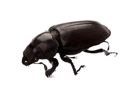 black bug isolated on white background photo